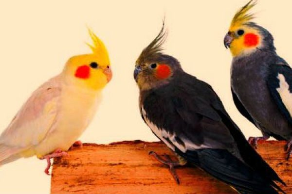 Three Cockatiels