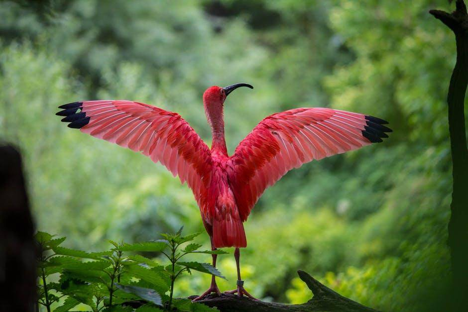 red bird with wings spread ou