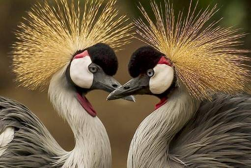 grey-crowned-crane-bird-crane-animal-