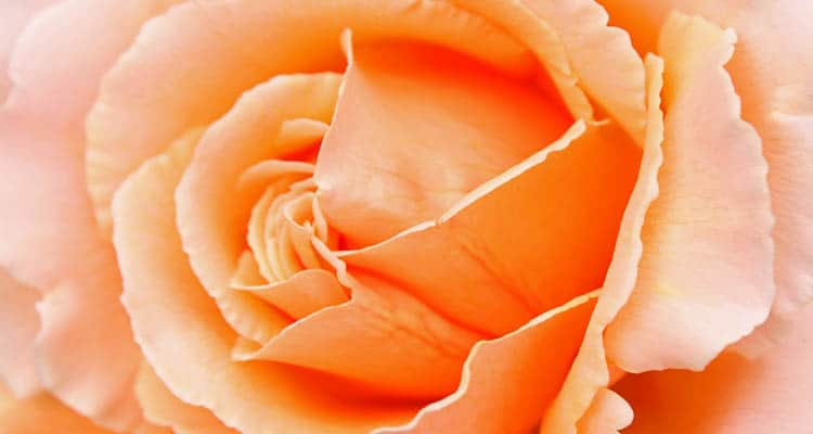 Peach rose meaning in a relationship