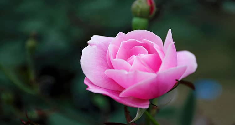 Pink rose meaning in a relationship gratitude