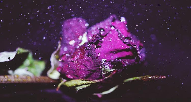 Purple rose meaning