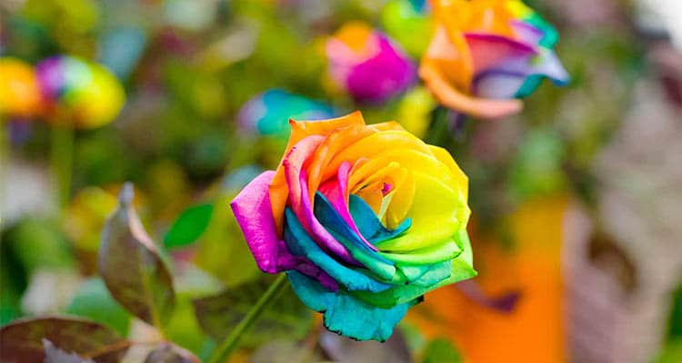 Rainbow rose meaning in a relationship
