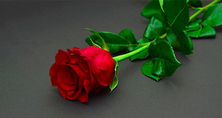 Red rose meaning in a relationship