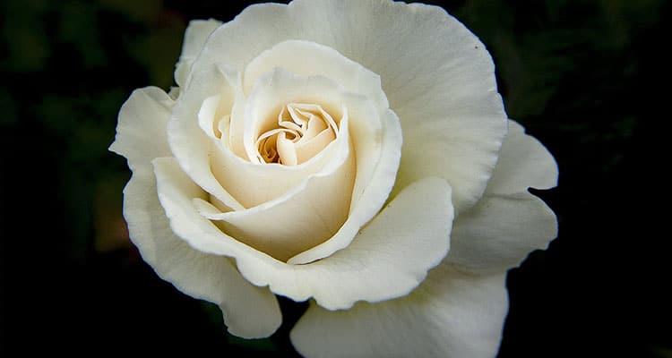 White rose meaning in a relationship