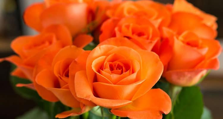 Orange rose meaning in a relationship