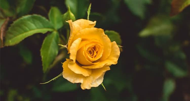 Yellow rose meaning in a relationship